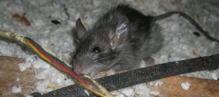 Домовая мышь проявляет интерес не только к продуктам