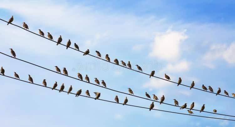 Птицы, облюбовавшие провода